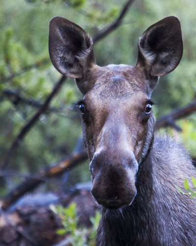 8x10 Uinta National Forest - Moose IMG_3121