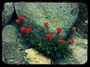 indian_paintbrush1
