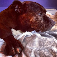 My #pitbull Mya wakes up... She's a 4X #cancersurvivor #cancersucks - #vagabond