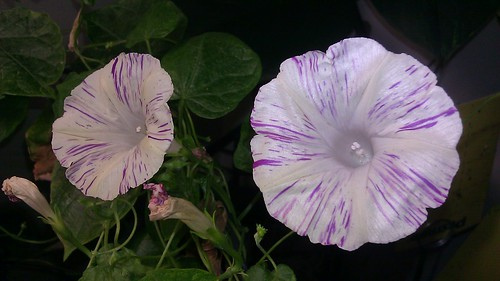 Ipomoea purpurea by Gerris2