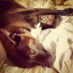 My #pitbull Mya's early #morning stretch on the #bed - #vagabond