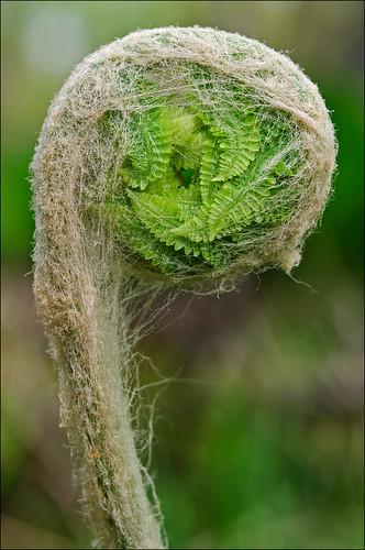 fern indiana frond fiddlehead bog cowles indianadunesnationallakeshore cowelsbog