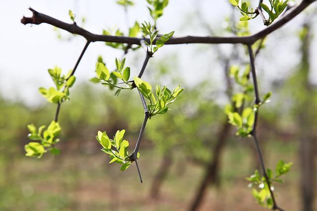 Jujube tree in Kumul (Hami) ハミ、ナツメの木