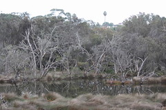 Drowned trees at Ascot Waters