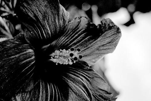 IMG 1743.1bw  Hibiscus