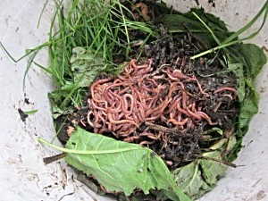 Learn to Love Worms with Vermicomposting   Backdoor Survival