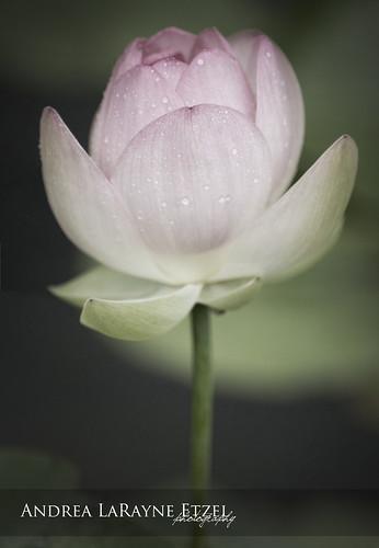park pink storm flower green nature water rain landscape pond flora nikon midwest lily lotus blossom ks petal heartland bloom raindrops kansas bud topeka gage gagepark d5000 andrealarayneetzel