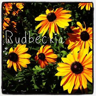 Garden Alphabet: Rudbeckia