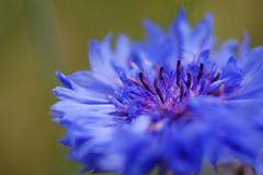 Cornflower blue 2