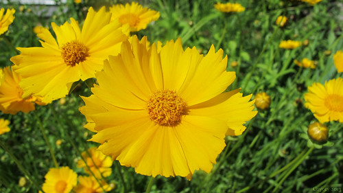 Yellow flowers by Coyoty