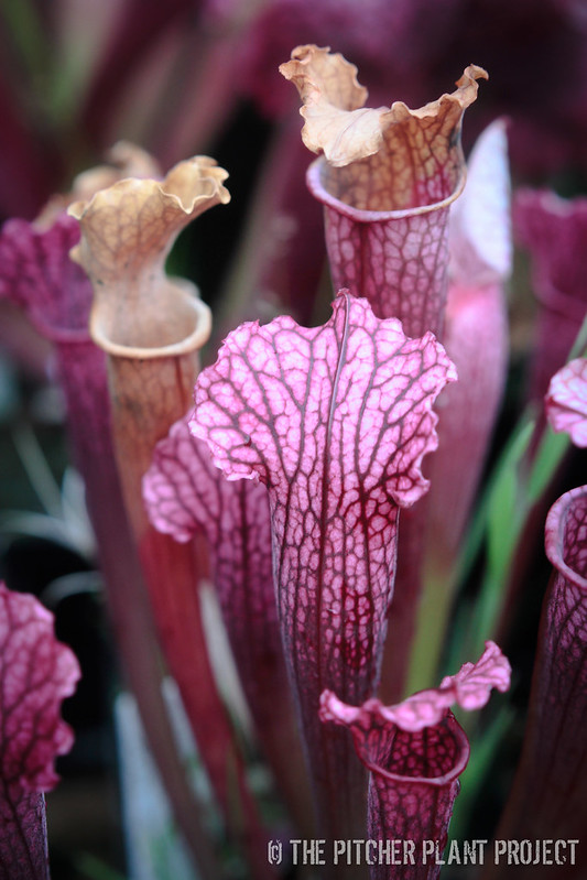 Sarracenia 'Judith Hindle' x 'Ladies in Waiting'
