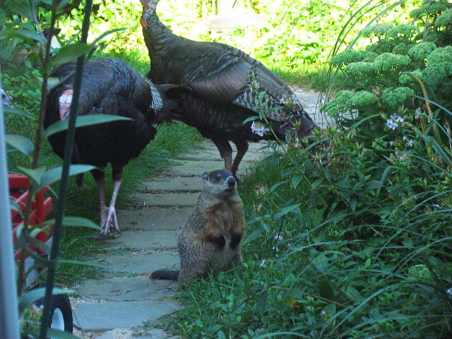 Turkeys and woodchuck2 8:17:13