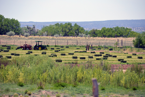 A healthy alfalfa field in the Santo Domingo Pueblo as a result of improved soil health and a new irrigation system.