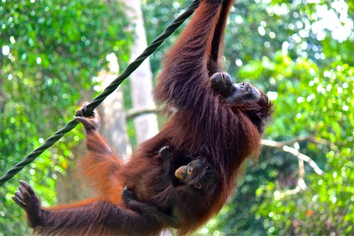 the baby orangutan holding on tight!