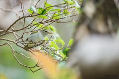 09冠羽柳鶯