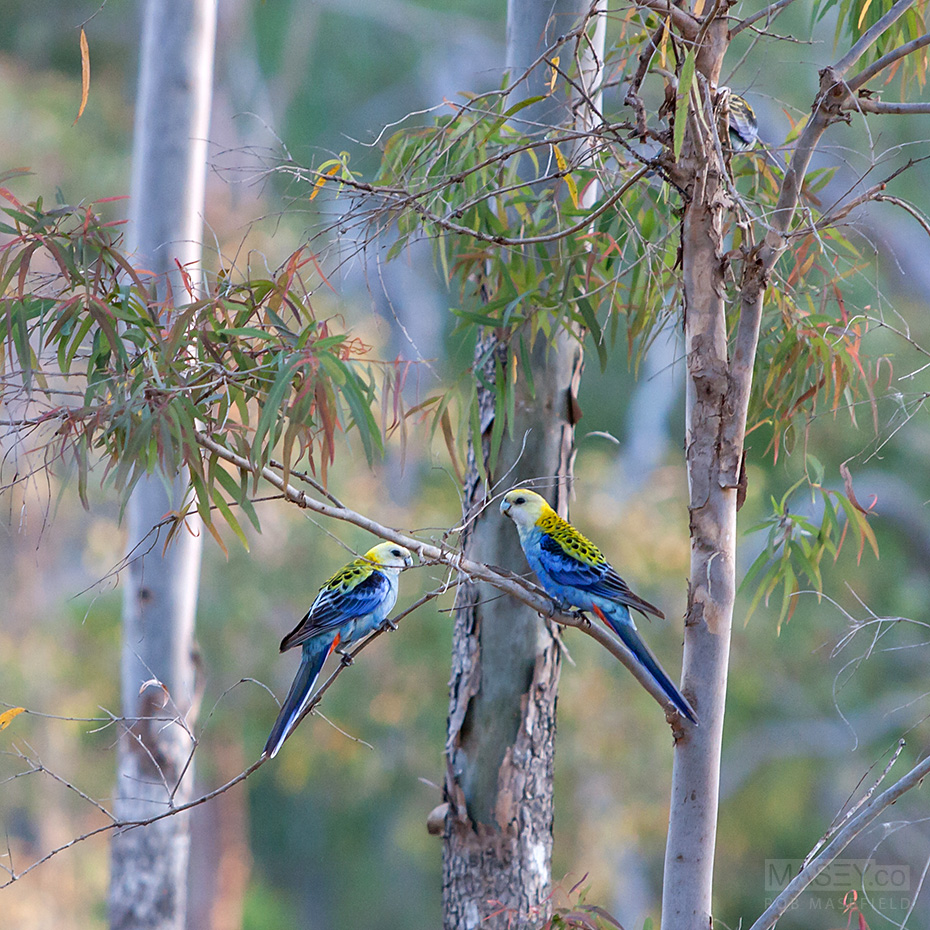 A stunning pair of pale-headed rosellas shadowed us for a distance.