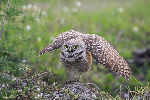 Defensive Owl