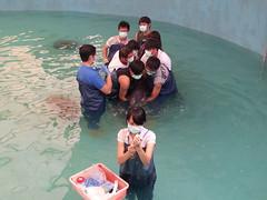 正在救援中的糙齒海豚-該該。(圖片來源:林務局提供)