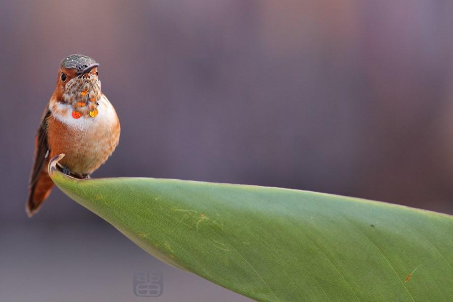 immature Allen's Hummingbird 122513