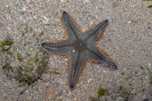 Plain sand star (Astropecten indicus)
