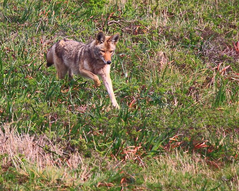 IMG_7619 Coyote