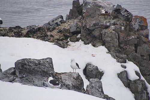188 Wandeling Halfmoon Island - meeuwen
