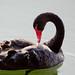 black Swan by Corrado Orio Photography