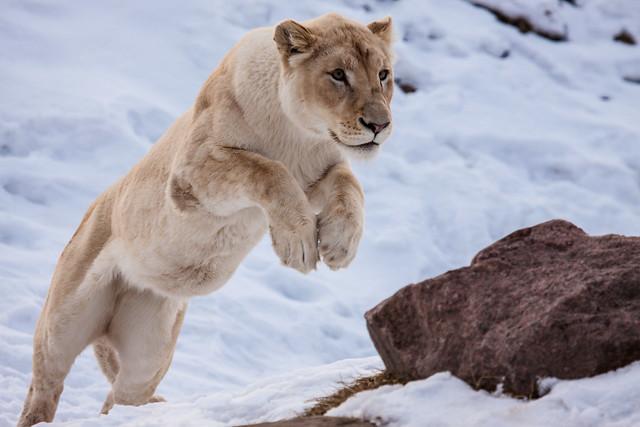 Прижок львицы