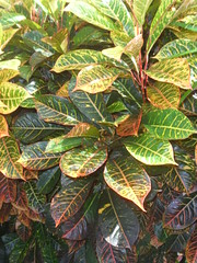 Codiaeum variegatum 'Pictum Sunbeam'