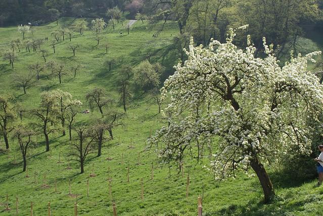 > Au dessus de Mala Strana, les vergers de Petrin. En fleurs au printemps.