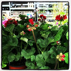 I love #geranium plants and flowers! When I have a house, I want to fill the garden with them (and hydrangea and tulips).