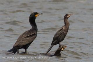 Neotropic Cormorant and DCCO