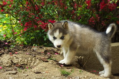 dog breed(1.0), animal(1.0), akita inu(1.0), puppy(1.0), west siberian laika(1.0), dog(1.0), czechoslovakian wolfdog(1.0), miniature siberian husky(1.0), alaskan klee kai(1.0), siberian husky(1.0), pet(1.0), shikoku(1.0), east siberian laika(1.0), tamaskan dog(1.0), greenland dog(1.0), northern inuit dog(1.0), wolfdog(1.0), saarloos wolfdog(1.0), native american indian dog(1.0), jã¤mthund(1.0), alaskan malamute(1.0), sled dog(1.0), carnivoran(1.0),
