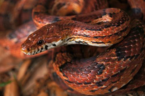 Corn Snake - P. guttatus