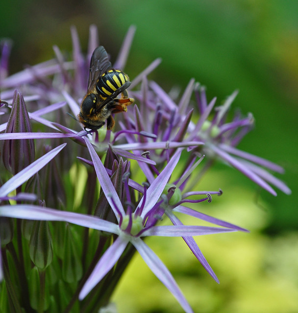 Allium christophii with Syrphid Fly