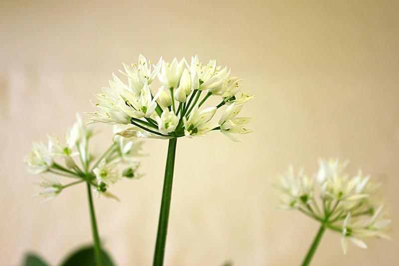 wild garlic accent 14107824335_5c228f4630_b