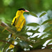 Small photo of Black Naped Oriole