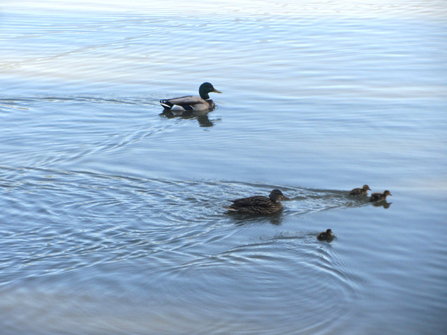 the newest ducklings at the lake