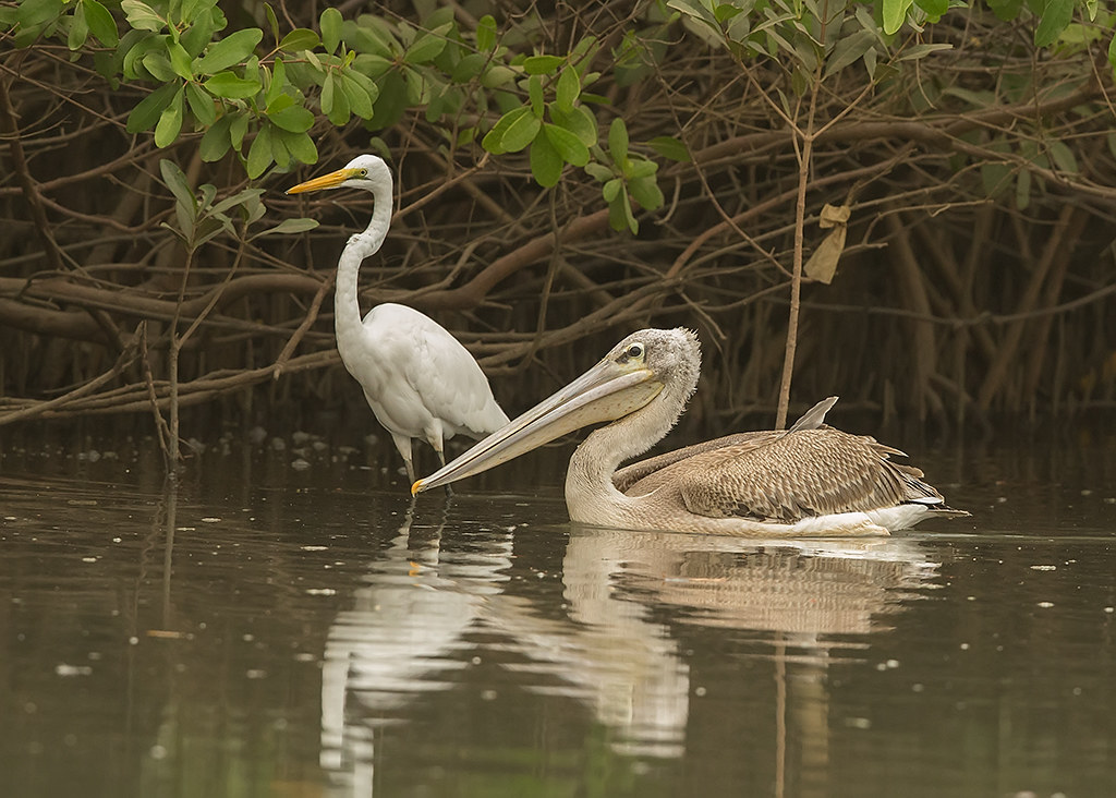 Great White Egret & Pink-backed Pelican   Gambia