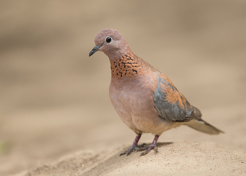 Laughing Dove   Gambia