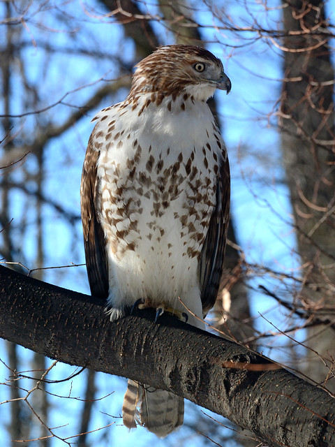 Riverside Red-Tail - 5157