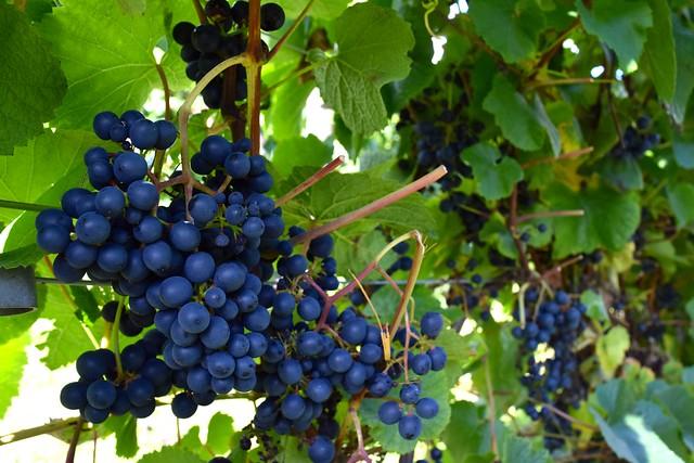 Barnsole Grapes, Staple | www.rachelphipps.com @rachelphipps