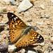 Papillon du micocoulier / Hackberry Butterfly