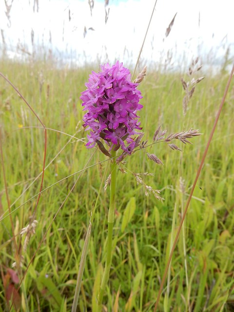 Orchid (shortcut 1)