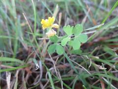 Field Clover (Trifolium campestre), Ball Road park and ride, St. Leonard, Calvert County, MD, 2016_0620