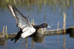 Scaup (Bluebill duck)