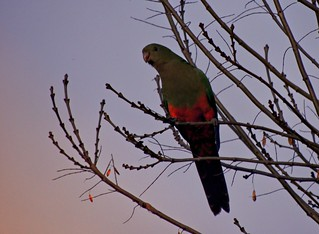 female king parrot on bare branches