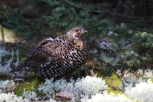 Spruce Grouse by Megan Lorenz