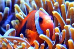 coral reef, animal, anemone fish, coral, fish, fish, coral reef fish, organism, marine biology, close-up, underwater, reef, sea anemone,