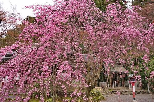 【写真】桜 : 常照寺